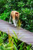 Proboscis monkey endemic of Borneo island in Malaysia poster