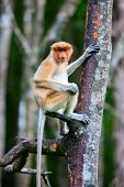 Female proboscis monkey in a wild on Borneo island in Malaysia poster