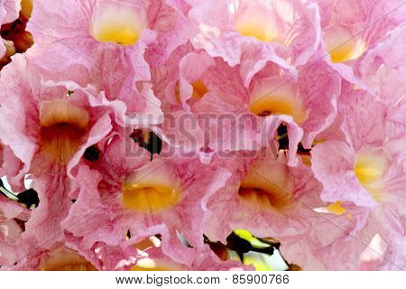 Pink Pantip