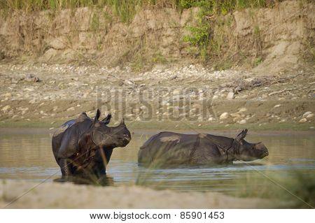 Tow Greater One-horned Rhinoceros Taking Bath In Nepal