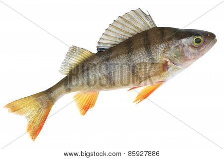 Small Lake Form Of European Perch (perca Fluviatilis)