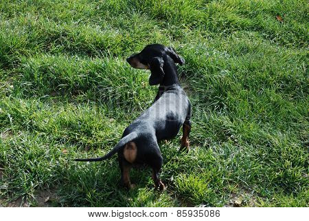 Badger-dog Playing On A Grass