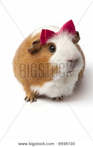 Guinea Pig with a pink bow on her head on white background poster