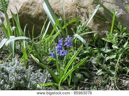 Flowers Of Scilla Siberica