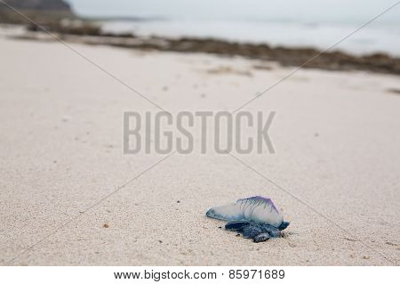 Dead And Poisonous Bluebottle Lying On The Beach Sand
