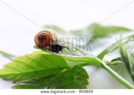 a little snail on the green leafs; gastropoda; over white poster