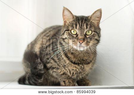 Striped sibirean cat sitting on the window