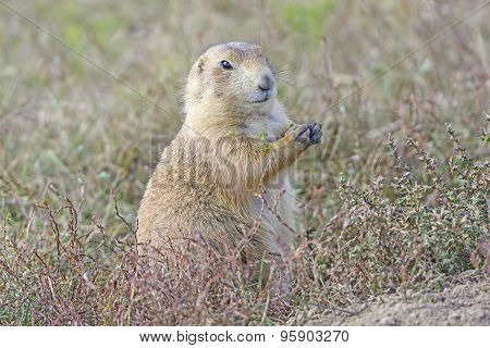 Prairie Dog Eating In The Prairie