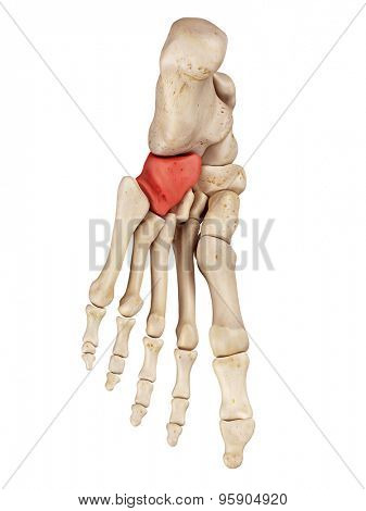 medical accurate illustration of the cuboid bones