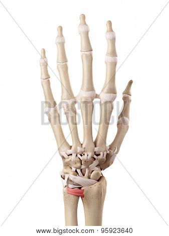 medical accurate illustration of the dorsal radioulnar ligaments