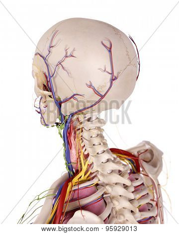 medical accurate illustration of the head anatomy