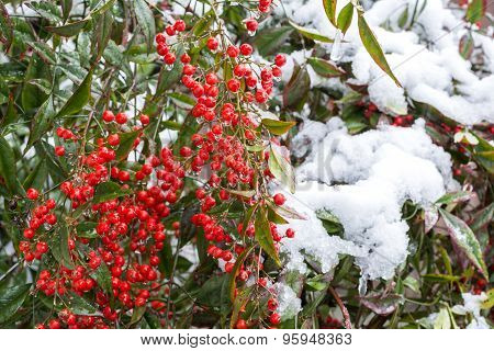 Nandina tree and snow