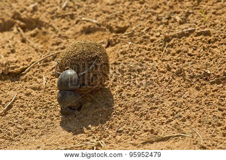 Dung Beetle Rolling A Ball Of Dung