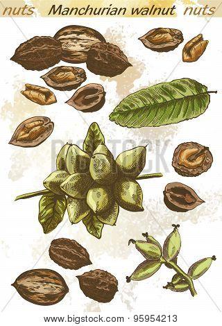 Manchurian walnut