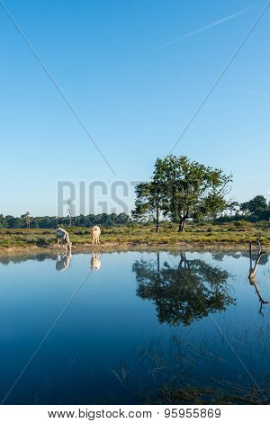 Reflection Of Trees And White Cows