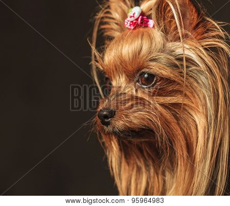 side view of a cute yorkshire terrier puppy dog's head looking away from the camera