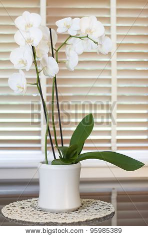 White Orchid Flower In A Pot In Front Of A Window With Wooden Blinders