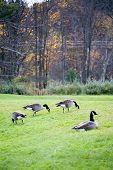 geese enoying the foliages in delaware watergap poster