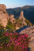 Pink flowers on the cliff. Summer landscape in the mountains. Morning sunlight. Blooming rhododendron bushes. Carpathians, Ukraine. Vertical layout poster