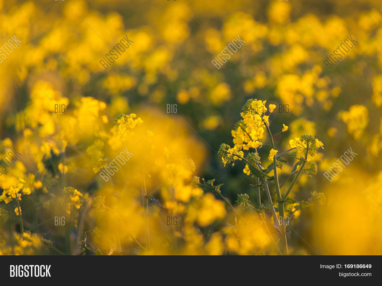 Canola Flowers Colza Image Photo Free Trial Bigstock