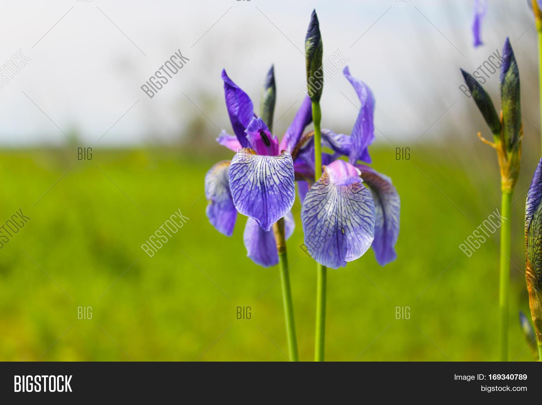 Wild Blue Iris Flowers Image Photo Free Trial Bigstock