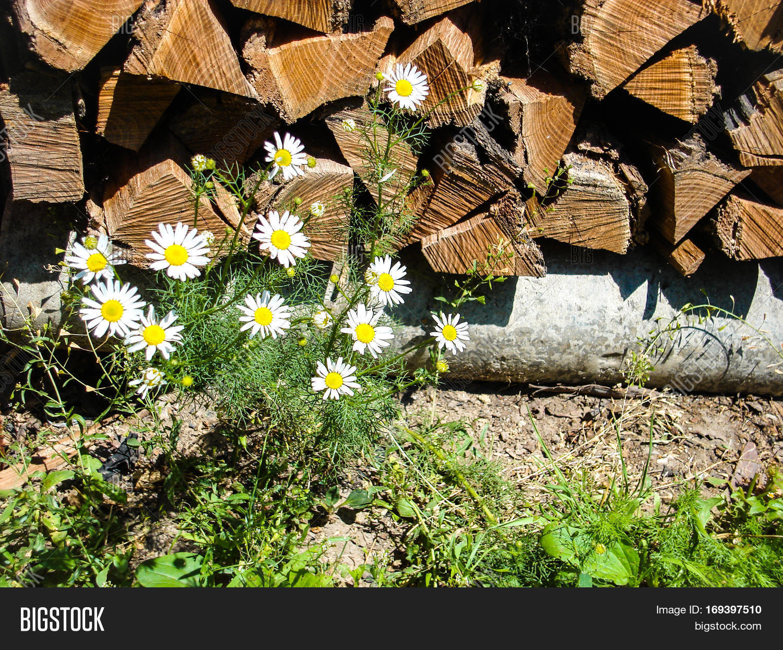 Wild Wild Daisies On Image Photo Free Trial Bigstock