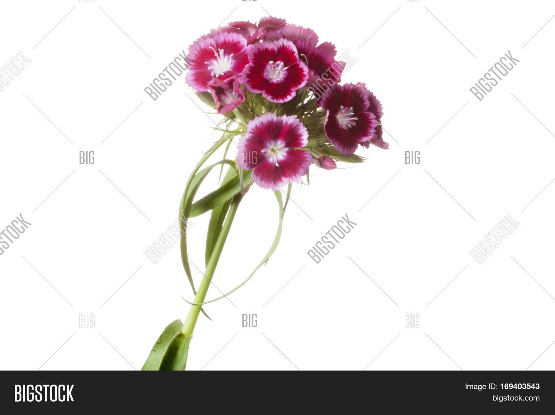 Dianthus Barbatus Sweet William Image Photo Bigstock
