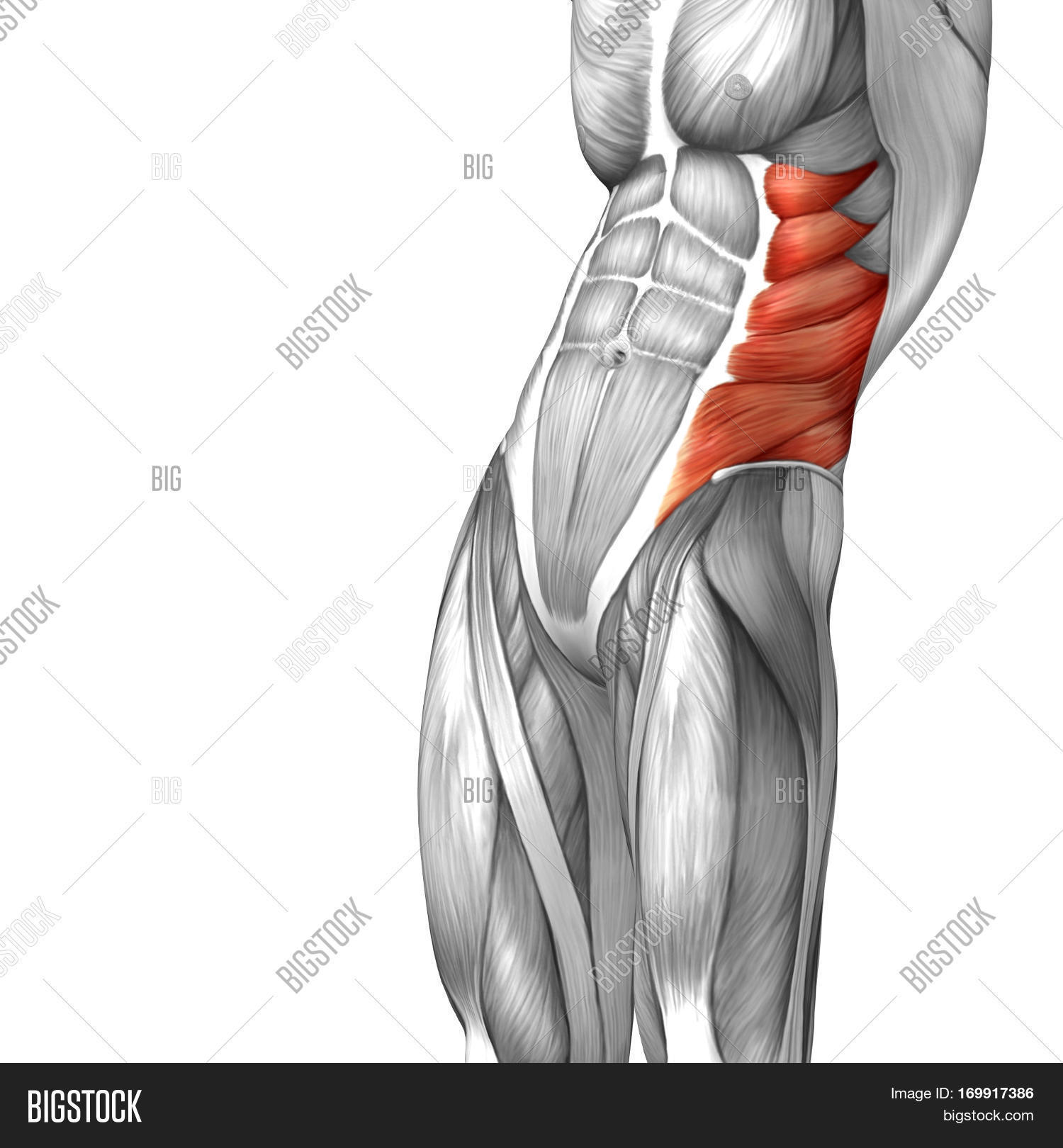 concept conceptual 3d illustration chest human anatomy or anatomical and  muscle isolated on white background metaphor