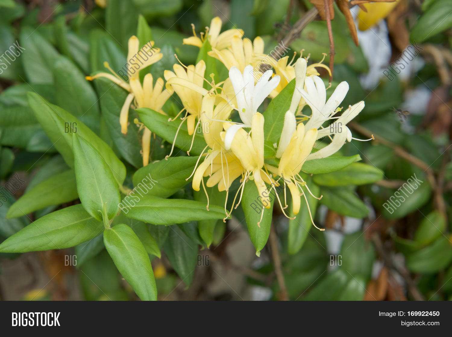 Lonicera Japonica Image Photo Free Trial Bigstock