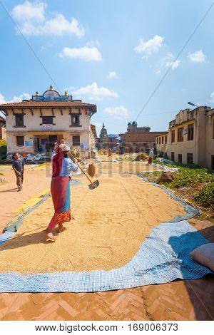 Nepali Female Farming Grain Harvest Sun Drying