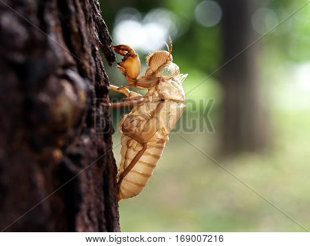 cicada molt on tree in early summer with natural bokeh background