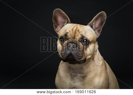 Portrait of beautiful young French buldog girl dog over black background. Studio shot. Copy space.