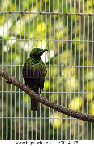Emerald Starling Bird Lamprotornis Iris