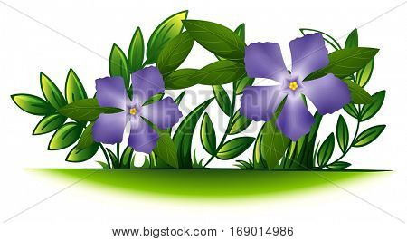 Purple periwinkle flowers in the green bush illustration