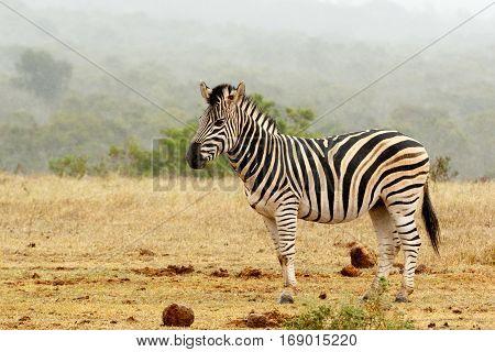Burchell's Zebra Standing And Waiting