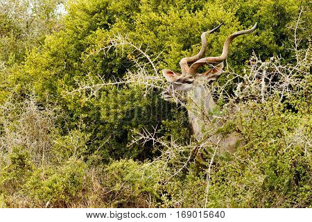 Greater Kudu Hiding Behind The Thorny Bushes