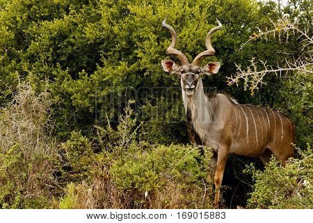 Greater Kudu Standing And Smiling