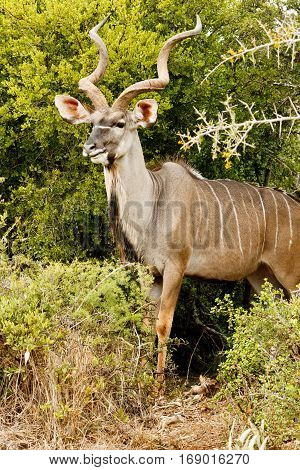 Side View Of A Greater Kudu