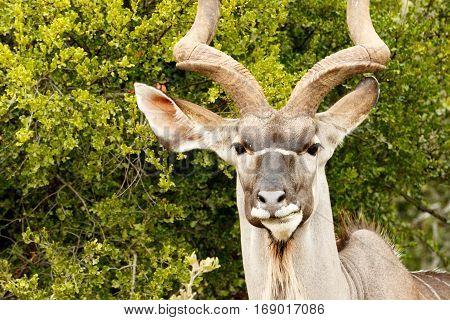 Headshot Of A Greater Kudu