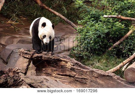 Giant Panda Bear Ailuropoda Melanoleuca