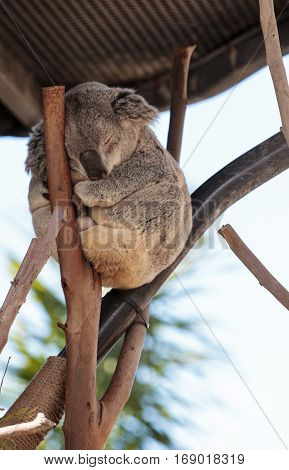 Koala Bear Phascolarctos Cinereus