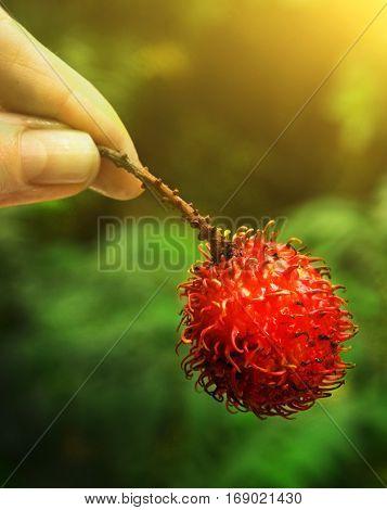 Rambutan Berry In Hand