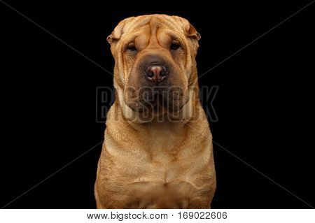 Close-up Portrait of Sad Wrinkled Sharpei Dog on Isolated Black Background, Front view