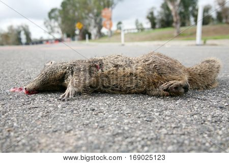 Road Kill of a western gray squirrel aka Sciurus griseus .
