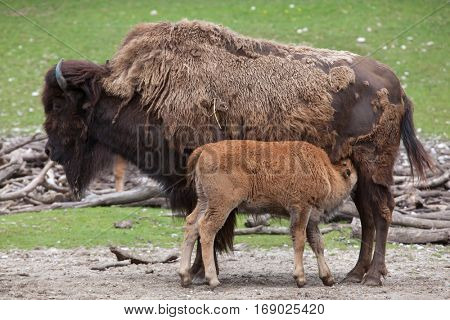 Wood bison (Bison bison athabascae), also known as the mountain bison. Calf sucking its mother.