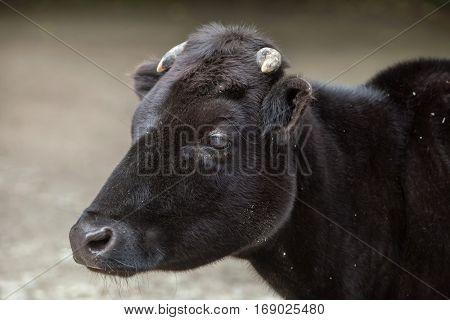 Dahomey dwarf cattle (Bos primigenius taurus).