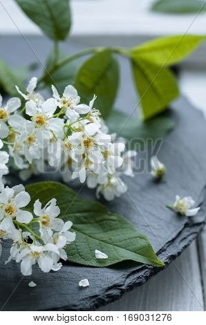 Easter concept - close up of bird cherry flowers on white wooden background selective focus