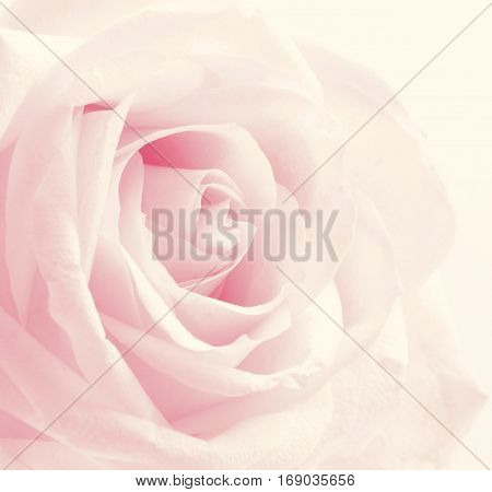 Beautiful Toned Pink Rose Close Up As Valentines Day Background. Wedding Background. Soft Focus. In