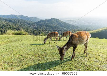 Group of deer eating grass