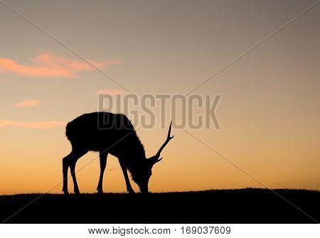 Silhuette of deer eating grass